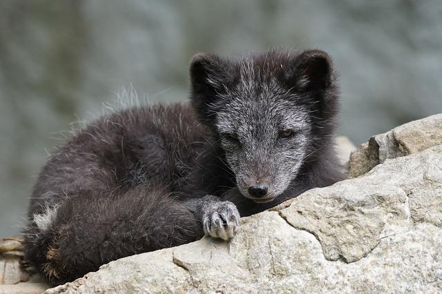 arctic_fox_907663_640