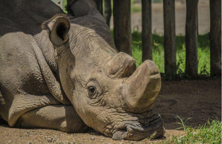 Sudán - poslední samec nosorožce tuponosého severního